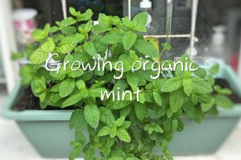 Growing organic mint
