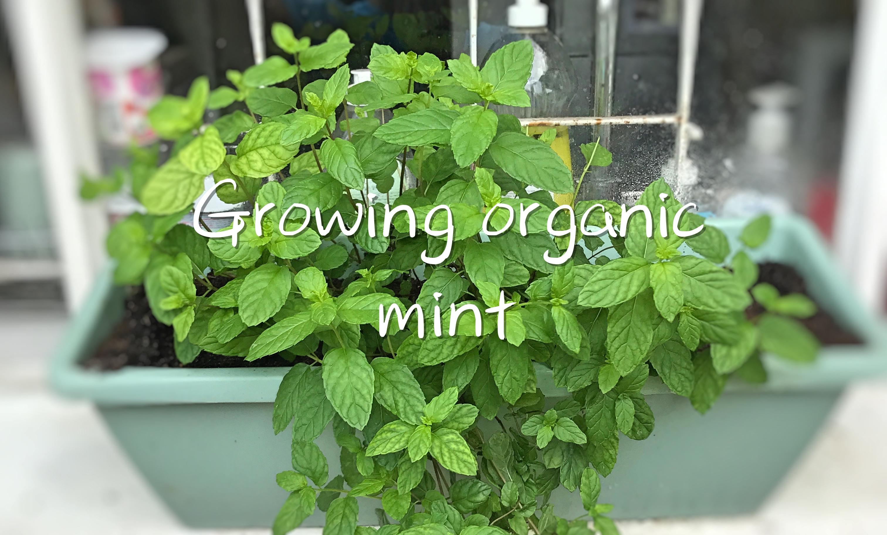 Growing organic mint